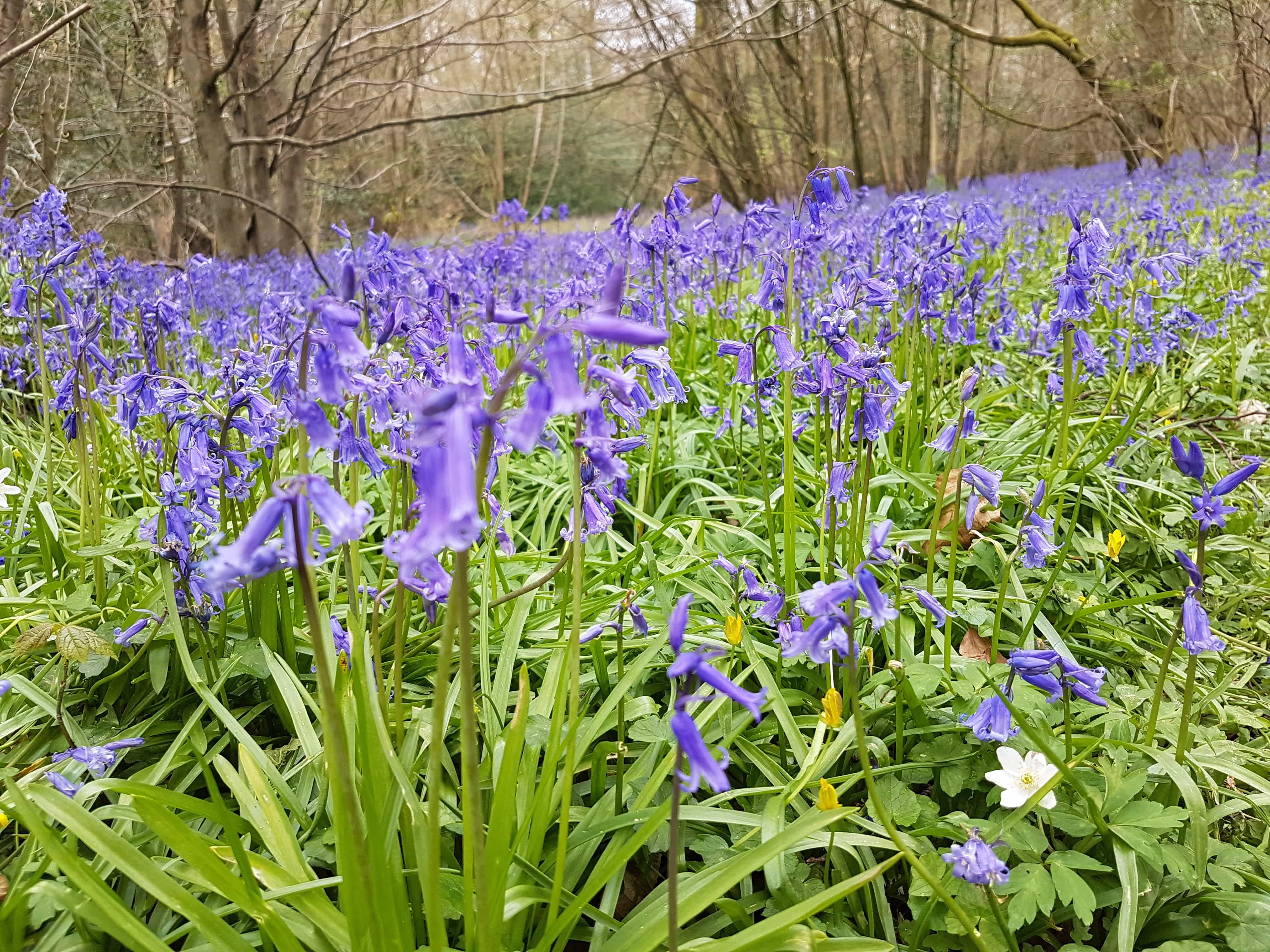 Bluebell woods, Upperford Copse, Forest of Bere